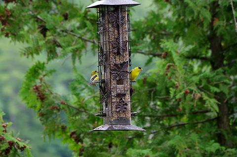 Goldfinches%20at%20the%20feeder