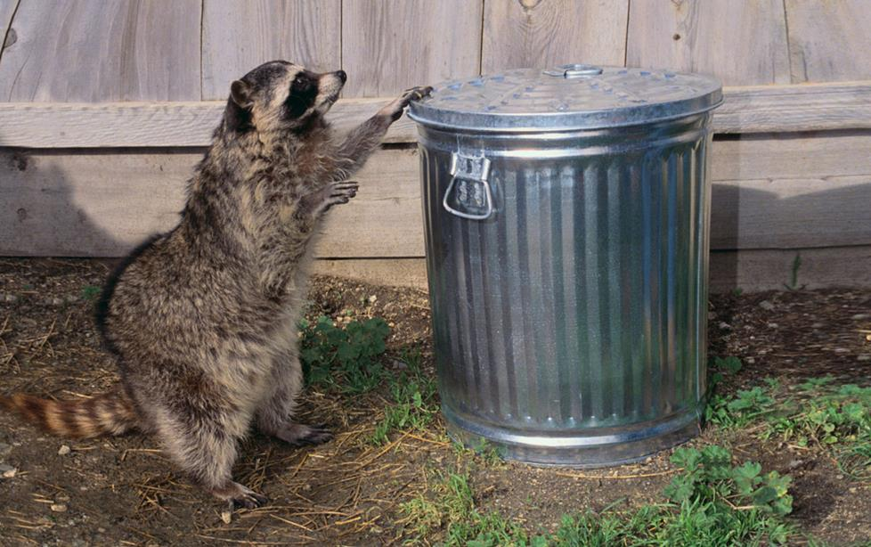 Racoon getting into trash can