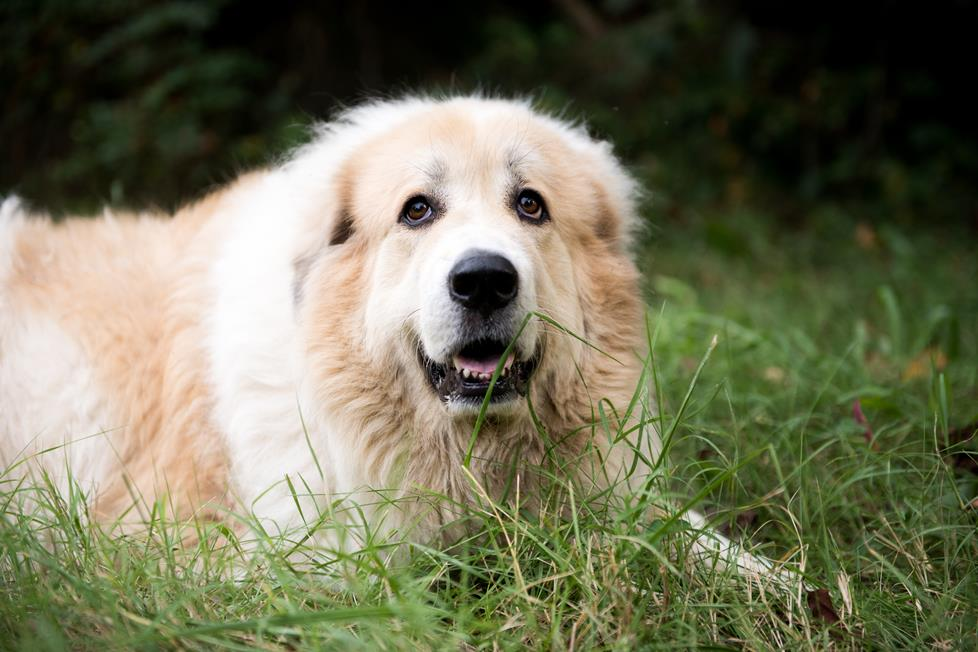 Appa the Great Pyrenees mix