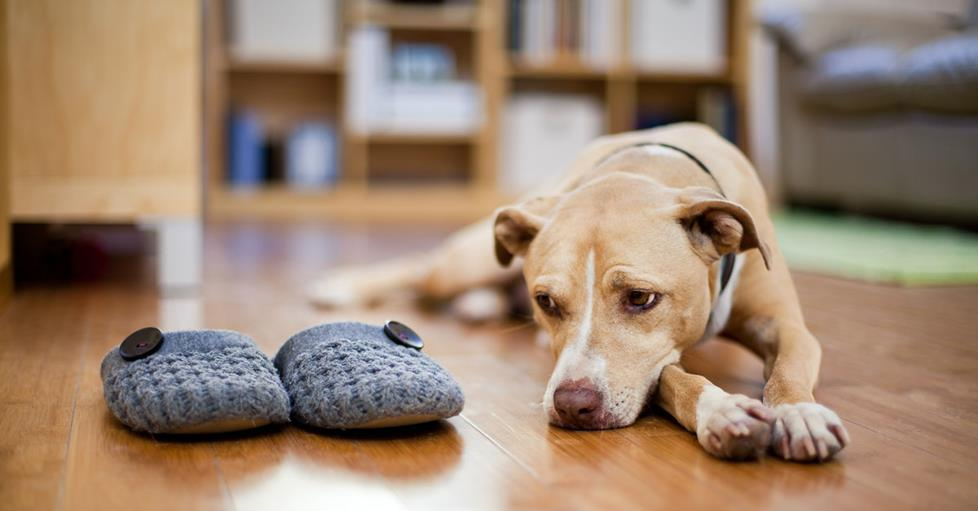 If you can see that your pup is lonely all day, you can look into solutions that will keep him happy, and away from your slippers.