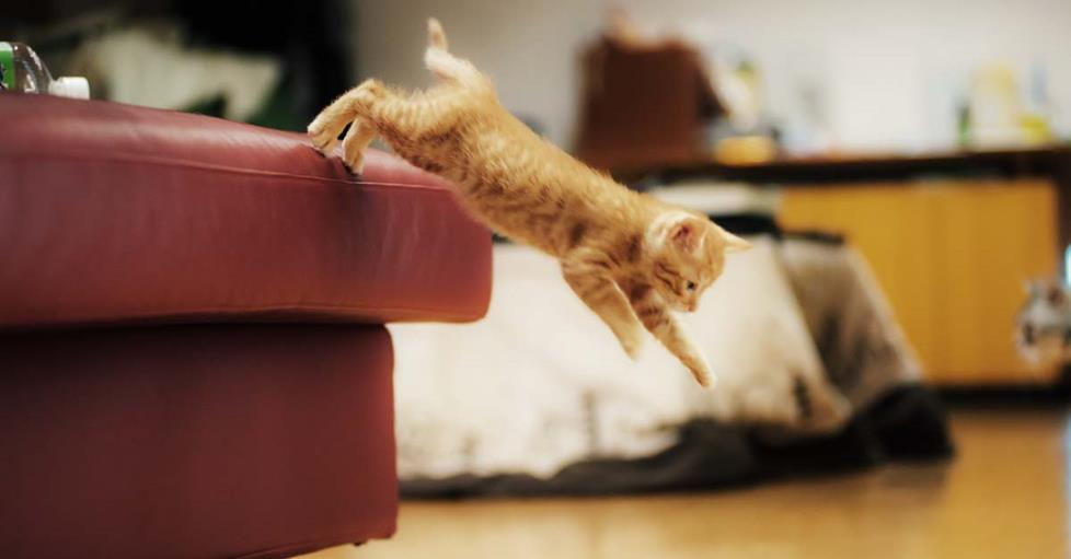 Kitten jumping of a sofa