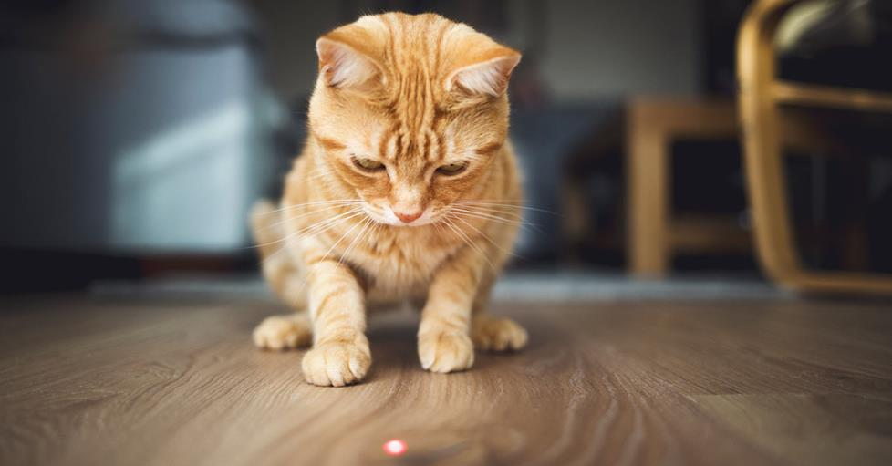 pet cat chasing a red laser dot