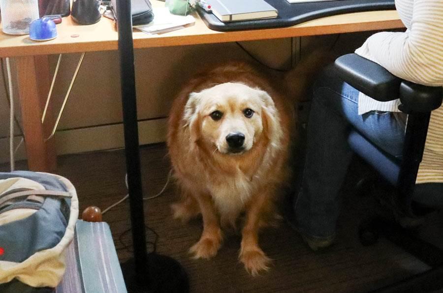 Moose under the desk