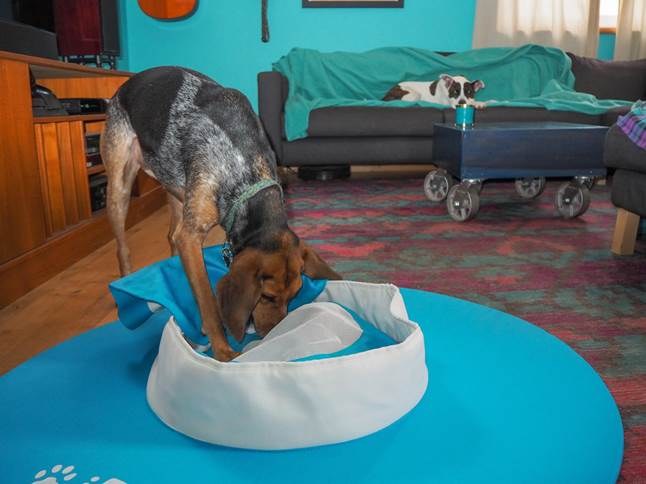 Abby the bluetick coonhound using iDig Stay from iFetch